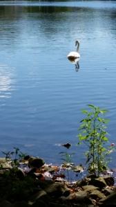 swan buhl